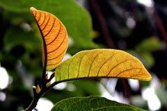FOGLIA DELLA FORESTA DI MATTINA A SUNBARBAN L'India Fotografie Stock Libere da Diritti