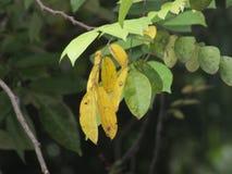 Foglia della frutta di stella Fotografia Stock Libera da Diritti