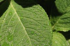 Foglia della goccia di pioggia Fotografia Stock Libera da Diritti