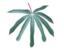 Foglia della manioca di yucca Fotografia Stock