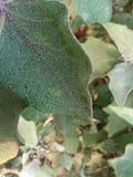 foglia della melanzana o della pianta della melanzana o della melanzana Fotografia Stock Libera da Diritti