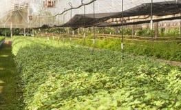 Foglia della menta che cresce nella pianta di scuola materna Agricoltura di concetto Fotografie Stock
