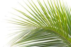 Foglia della noce di cocco Immagine Stock