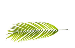 Foglia della palma immagini stock