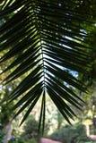 Foglia della palma di phoenix dactylifera dall'Africa del nord Immagine Stock Libera da Diritti