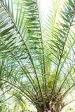 Foglia della palma di phoenix dactylifera dall'Africa del nord Fotografia Stock Libera da Diritti