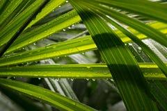 Foglia della palma di signora con la gocciolina dopo rainny Fotografia Stock