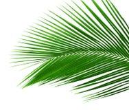 Foglia della palma isolata Fotografia Stock