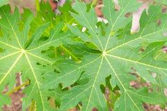 Foglia della papaia Fotografia Stock