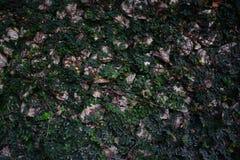 Foglia della parete e fondo verdi della roccia Fotografia Stock