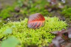 Foglia della pera di autunno Fotografie Stock