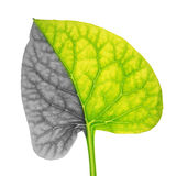 Foglia della pianta che simbolizza il cancro polmonare Fotografia Stock