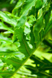 Foglia della pianta del Philodendron Immagini Stock Libere da Diritti