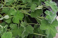 Foglia della pianta dell'erba di pelargonium crispum dell'eucalyptus Fotografie Stock