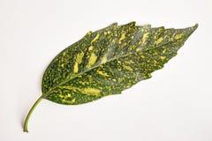 Foglia della pianta della polvere di oro Fotografia Stock