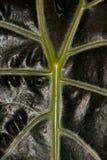 Foglia della pianta tropicale fotografia stock