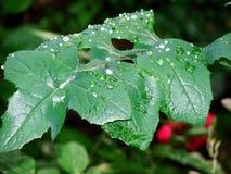 Foglia della pioggia Fotografia Stock Libera da Diritti