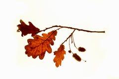 Foglia della quercia Fotografia Stock
