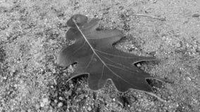 Foglia della quercia Fotografia Stock Libera da Diritti
