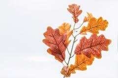 Foglia della quercia bianca immagine stock