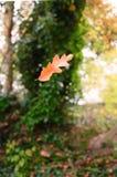 Foglia della quercia che cade in autunno Fotografia Stock Libera da Diritti