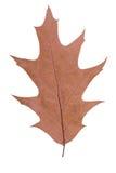 Foglia della quercia come simbolo di autunno Fotografie Stock