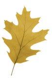 Foglia della quercia come simbolo di autunno Fotografia Stock Libera da Diritti