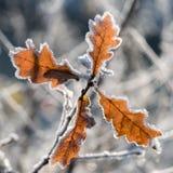 Foglia della quercia con fondo offuscante Immagine Stock