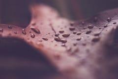 Foglia della quercia con le goccioline di acqua fotografia stock