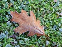 Foglia della quercia di Brown nel gelo Immagine Stock Libera da Diritti