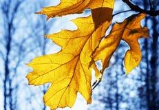 Foglia della quercia gialla in autunno immagine stock