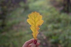 Foglia della quercia gialla nella ragazza delle dita Immagini Stock Libere da Diritti