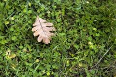 Foglia della quercia nell'erba Fotografia Stock Libera da Diritti