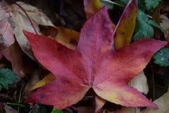 Foglia della quercia rossa caduta al parco di unico nato, Swansea, Regno Unito Fotografie Stock