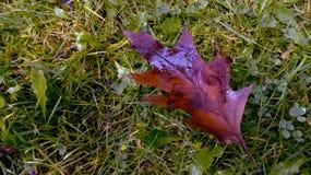Foglia della quercia rossa su erba Immagini Stock