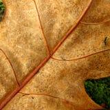 Foglia della quercia su erba Immagine Stock