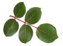 Foglia della rosa di verde Fotografia Stock