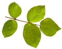 Foglia della rosa di verde isolata su fondo bianco Fotografia Stock