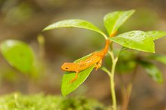 Foglia della salamandra Immagine Stock Libera da Diritti