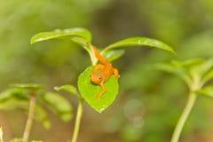 Foglia della salamandra Fotografia Stock Libera da Diritti