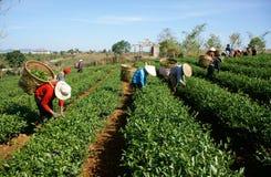 Foglia della scelta della raccoglitrice del tè sulla piantagione agricola Fotografie Stock