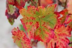 Foglia della vigna di autunno fotografie stock libere da diritti