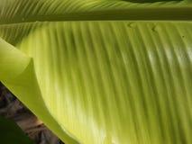 Foglia delle banane Fotografia Stock