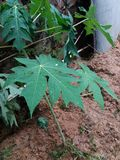 Foglia delle papaie Fotografia Stock Libera da Diritti