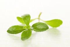 Foglia dello zucchero di stevia. Immagine Stock Libera da Diritti