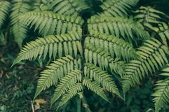 Foglia di Œlush del ¼ del leavesï della felce in foresta immagini stock libere da diritti