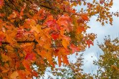 Foglia di acer platanoides nel colore di autunno Fotografie Stock Libere da Diritti