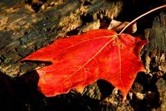 Foglia di acero Fotografia Stock