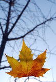 Foglia di acero Fotografia Stock Libera da Diritti