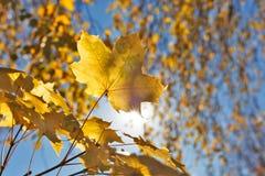 Foglia di acero al sole e cielo blu fotografie stock
